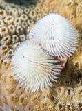 Ver d'arbre de Noël blanc avec le fond de corail. Photos libres de droits