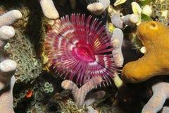 Ver de chiffon de plume de fente-couronne d'espèce marine Photos stock