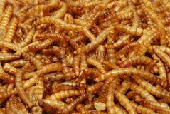 Ver de terre de repas (lyophilisé) images stock