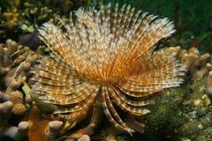 Ver magnifique de chiffon de plume de vie marine Photos libres de droits