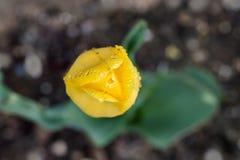 Ver?nderungen von Fotos mit einer sch?nen, leichten und einsamen Blume einer gelben Tulpe in einem Garten mit Regentropfen, rein  stockbild