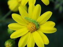 Ver vert mangeant sur le dessus d'une fleur jaune au printemps images libres de droits