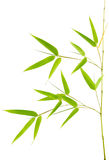 Vera pianta giovane di bambù Immagine Stock