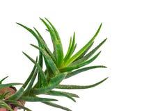 Vera roślinnych aloesu Obrazy Stock