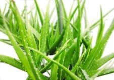 Vera roślinnych aloesu Zdjęcie Royalty Free