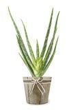 Vera roślinnych aloesu Zdjęcie Stock