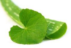 Алоэ vera с листьями thankuni Стоковые Изображения