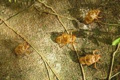 Veranderingscicadidae Royalty-vrije Stock Afbeeldingen