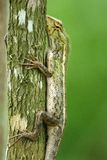 Veranderlijke hagedis in een boom Stock Fotografie