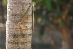 Veranderlijke Hagedis, Red-headed Hagedis, de Indische toppositie van de Tuinhagedis op de palm van Manilla in de tuin stock foto