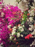 Pink, white and orange flowers Bougainvillea in tropical garden blossom texture royalty free stock image