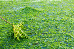 Verankerung auf dem Meerespflanzengebiet, Waddensea, die Niederlande Stockfotografie