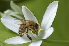 Verano, abeja Imagen de archivo libre de regalías