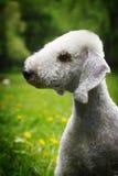 Verano de Bedlington Terrier del perro en el parque Fotografía de archivo