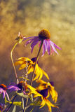 Verano de la púrpura del Echinacea Fotos de archivo libres de regalías