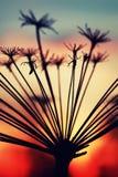 Verano de la rama de la planta de la puesta del sol Fotos de archivo libres de regalías