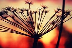 Verano de la rama de la planta de la puesta del sol Fotografía de archivo
