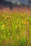 Verano de las hierbas Flores amarillas salvajes Imagenes de archivo