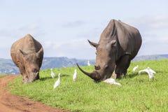 Verano de los rinocerontes Imagen de archivo libre de regalías