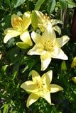 Verano de Rusia de la vegetación del jardín del lirio de las flores Imagen de archivo