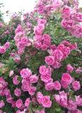 Verano del arbusto de la rosaleda, fondo foto de archivo