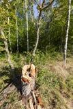 Verano del bosque del abedul Fotografía de archivo libre de regalías