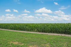 Verano del campo de maíz Foto de archivo libre de regalías