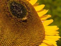 Verano del concepto del fondo de la sol del primer del polen de la abeja del girasol Foto de archivo libre de regalías