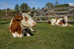 Verano en el pueblo Vacas manchadas felices Imágenes de archivo libres de regalías