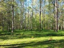 Verano en un bosque del abedul Fotos de archivo libres de regalías