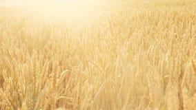 Verano iluminado por el sol de la llamarada del centeno del trigo del campo de la cosecha de grano almacen de metraje de vídeo