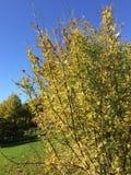 Verano indio Arbustos magn?ficos en el parque imagenes de archivo