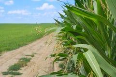 Verano lateral del campo de maíz Fotos de archivo libres de regalías