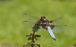 Verano, libélula Foto de archivo libre de regalías