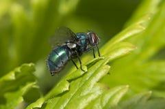 Verano, mosca Foto de archivo libre de regalías
