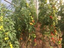 Verano orgánico 2017 de la plantación del tomate en el stenungsund Suecia Fotografía de archivo