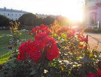 Verano-otoño en St Petersburg Rosas florecientes en los rayos de la tarde del sol por la catedral del ` s del St Isaac Foto de archivo