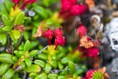Verano polar de la hoja de la vegetación de piedra macra Fotografía de archivo libre de regalías