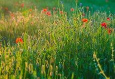 Verano Poppy Meadow Fotos de archivo libres de regalías