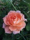 Verano rosado hermoso Rose Growing en la hierba imagen de archivo libre de regalías