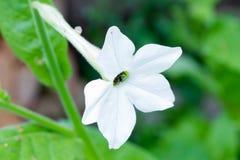 Verano soleado del tabaco fragante de las flores en el jardín fotografía de archivo
