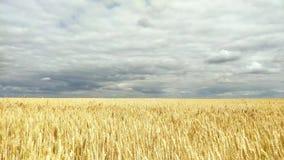 Verano Sun que brilla sobre paisaje agr?cola del campo de trigo verde joven almacen de metraje de vídeo