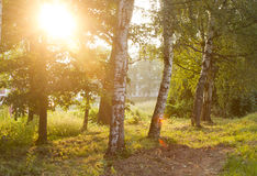 Verano Sunny Forest Trees Fotografía de archivo