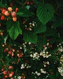 Verano y cosecha de la frambuesa con la familia foto de archivo libre de regalías