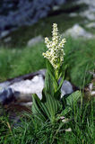 Veratrum album. On green grass Royalty Free Stock Photography