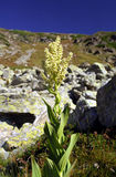 Veratrum album - Liliaceae fammily Stock Photography