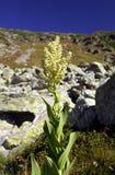 Veratrum album - Liliaceae fammily. Veratrum album - European White Hellebore with its very poisonous root Stock Photography