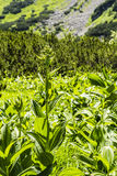 Veratrum lobelianum Bernh. species of plants of the family Melanthiaceae. Stock Photography