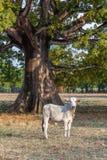 Verbaasde koe Royalty-vrije Stock Foto