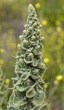 Verbascum Стоковое Изображение